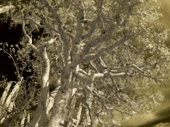 trees-_irr2660-c-web